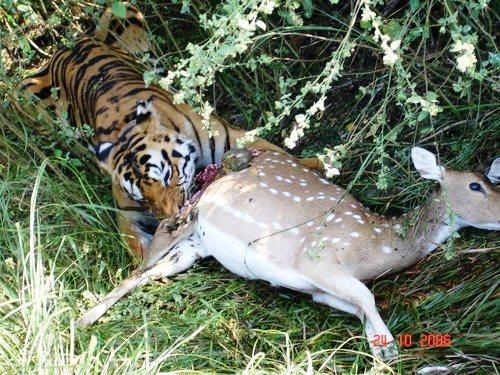 Tigers Eating Prey Tiger-with-prey-tiger-tiger